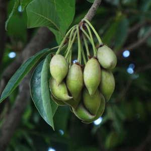 mowrah fruit