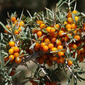 sea buckthorn berry oil, best non-comedogenic oils