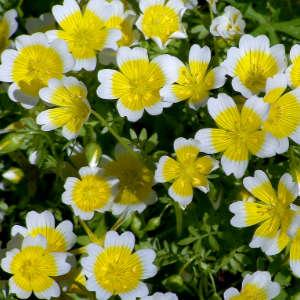 meadowfoam flowers, best non-comedogenic oils