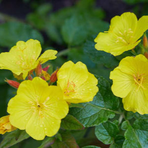evening primrose, best carrier oils for skin