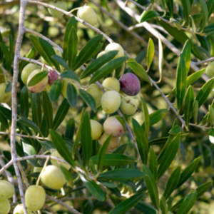 Olive trees are the source for olive body butter