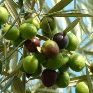 olive fruit , best carrier oils for skin