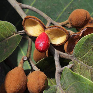 ucuuba tree fruit, ucuuba body butter benefits