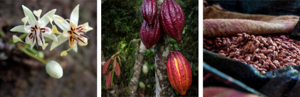 cocoa tree, fruit, butter