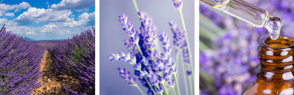 lavender rows, flower, essential oil